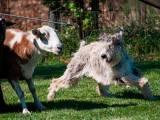 Пикардийская овчарка пасет овец