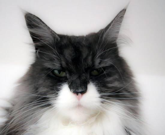 Кот с кисточками на ушах