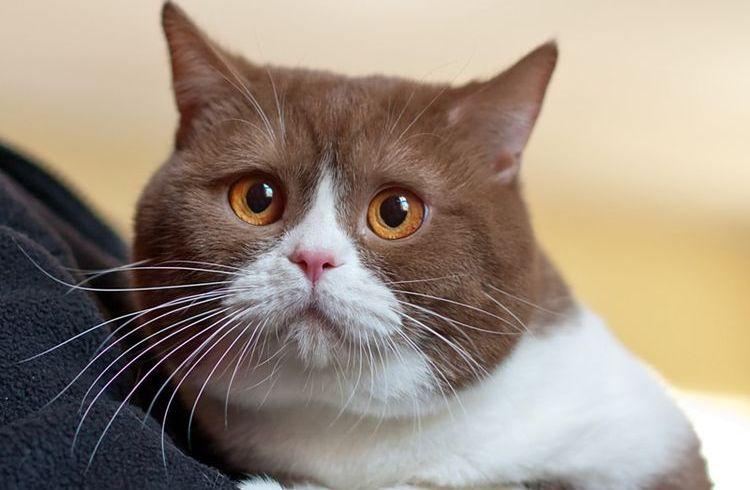 Розовые выделения у кошки