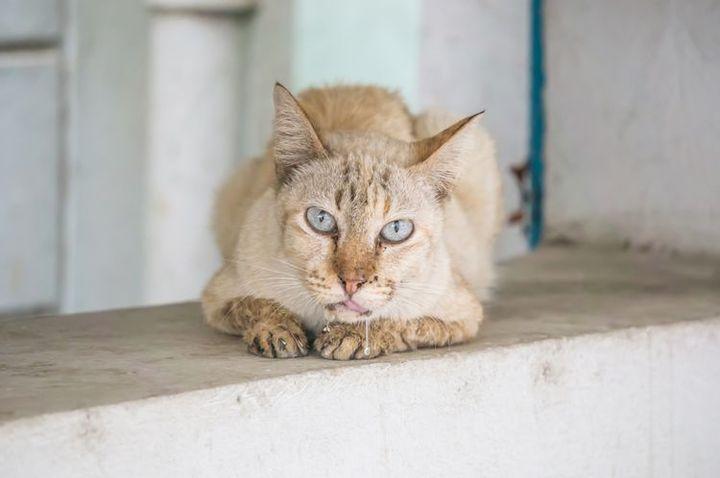 Гиперсаливация (текут слюни) у кота