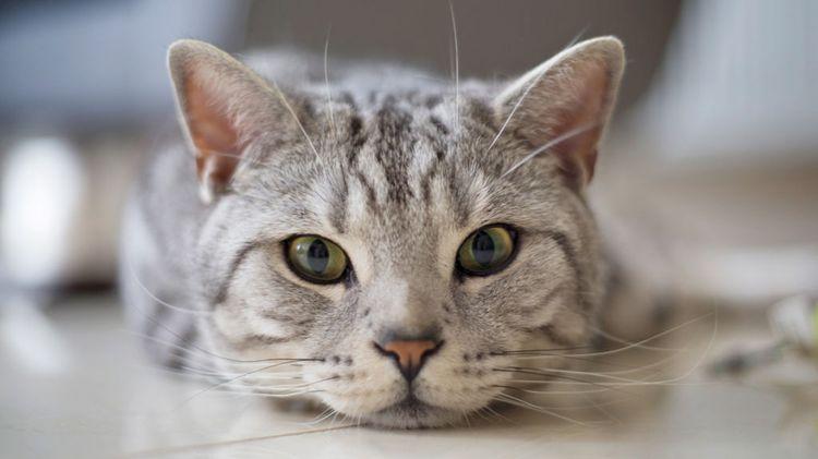 у кота отказали задние лапы