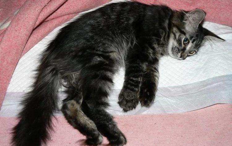 У кошки отказали задние лапы