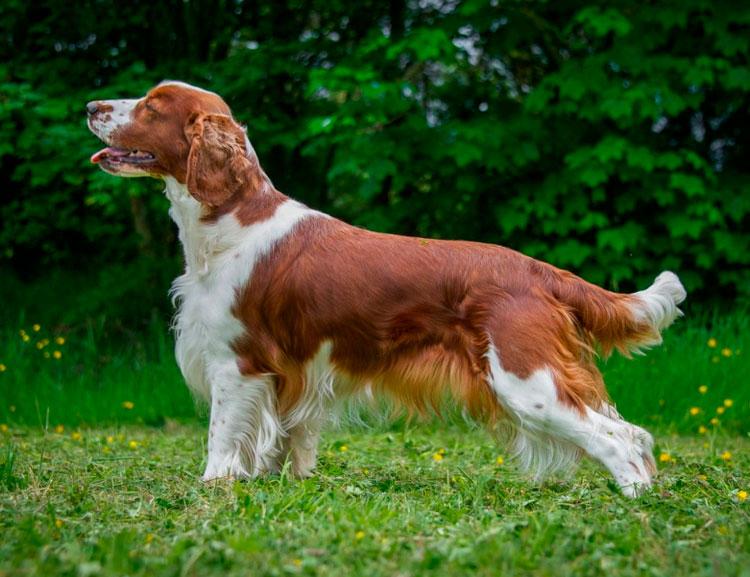 порода собак Вельш-спрингер-спаниель