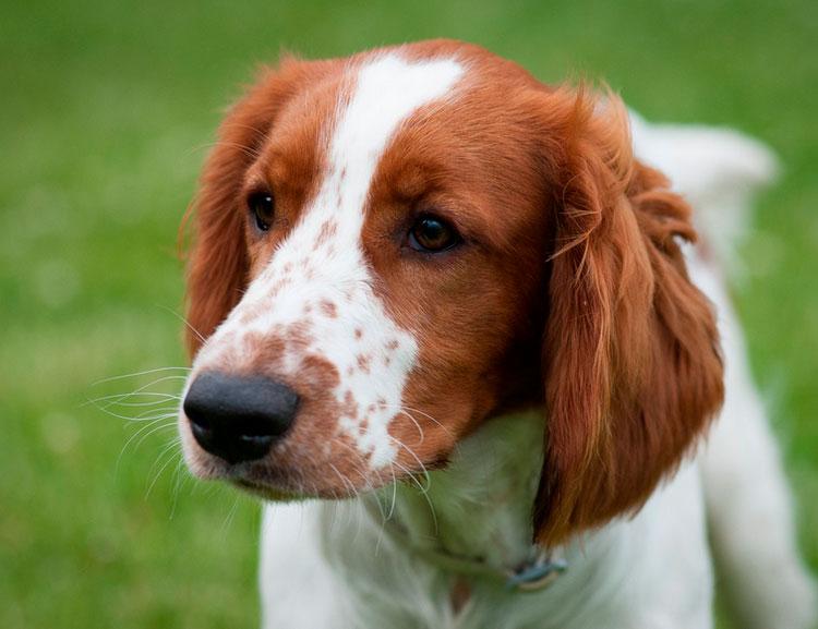 собака Вельш-спрингер-спаниель