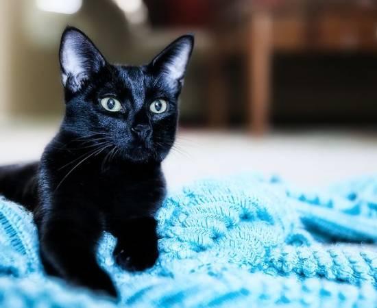 Черная кошка на одеяле