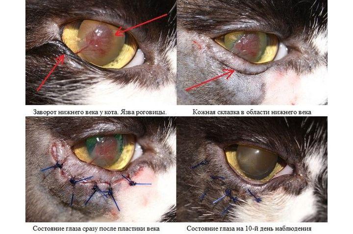 Оперирование заворота века у кота