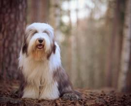 собака породы Бородатый колли