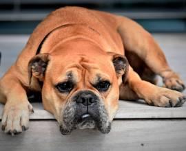 порода собак Континентальный бульдог
