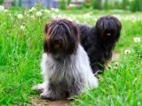 две собаки шапендуа