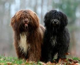 голландские овчарки на фото