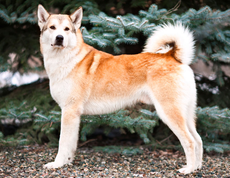 собака породы Восточносибирская лайка