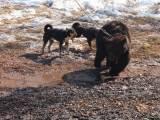 Восточносибирские лайки натаска на медведя
