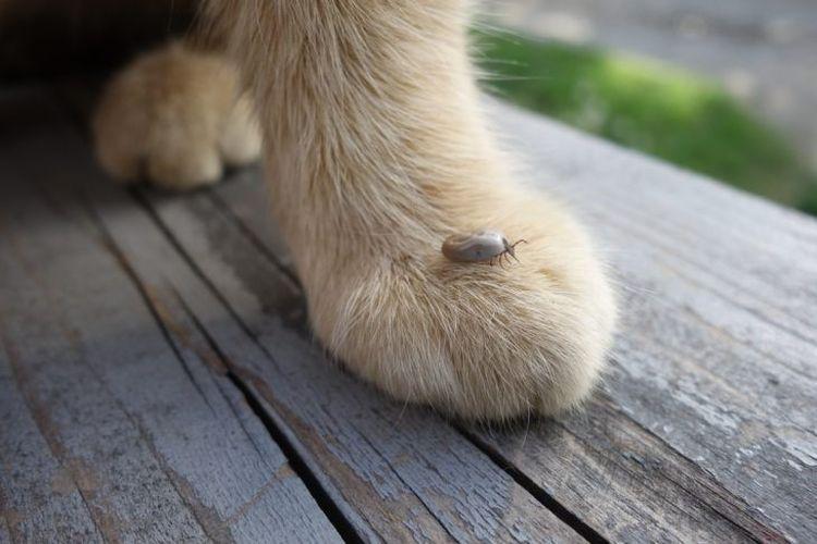 Иксодовые клещи у кошек и котов