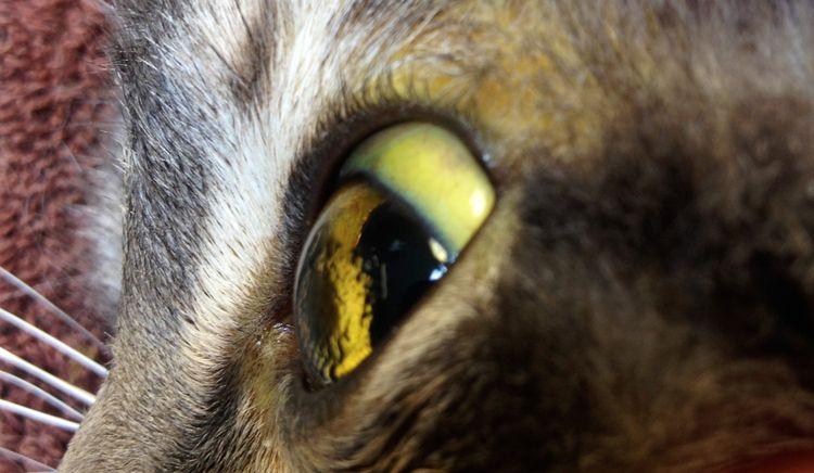 Желтушность слизистых у кошек
