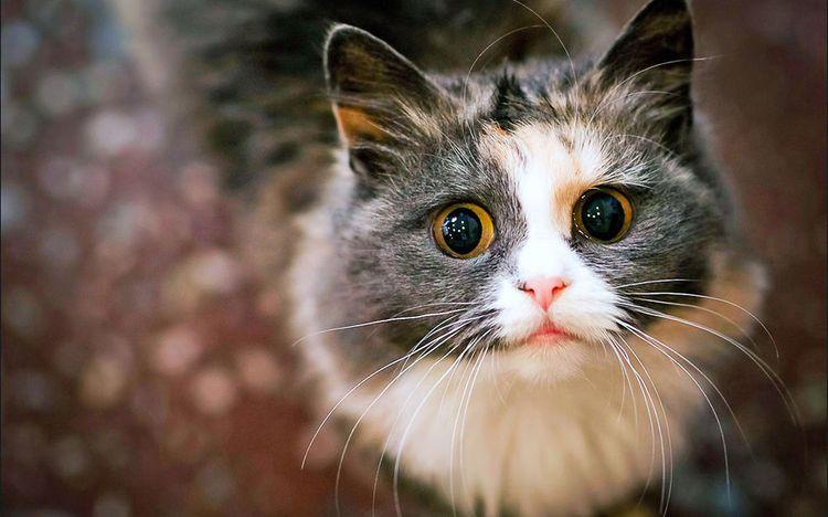 Имена для трехцветных кошек