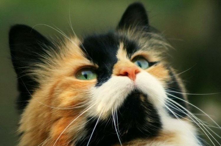 Как назвать трехцветную кошку