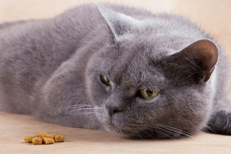 Кошка отказывается кушать
