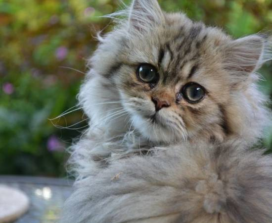 Липидоз печени у котов