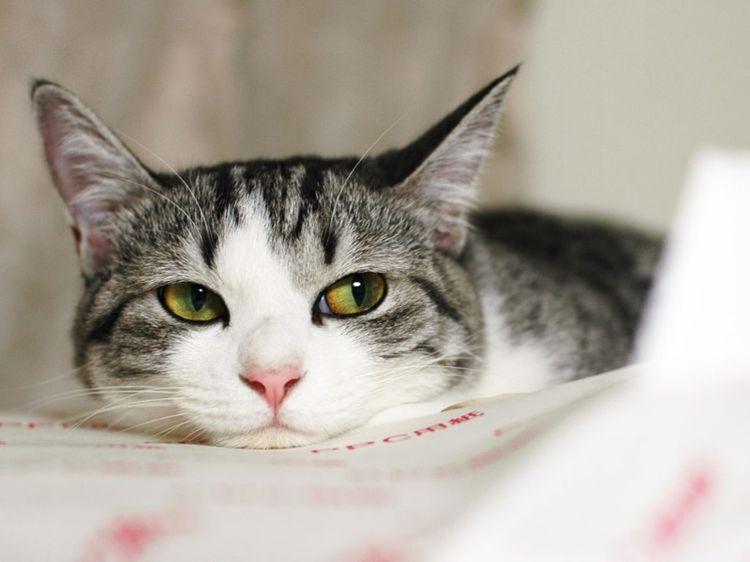 Сальмонеллез у кота