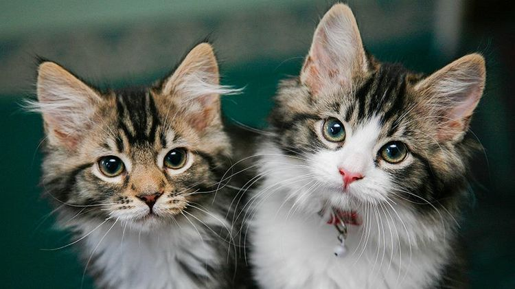 Сальмонеллез у кошек