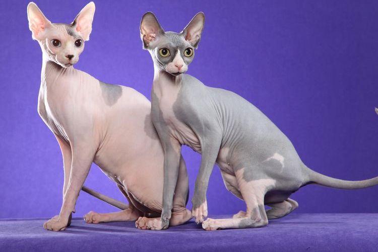 Коты сфинксы