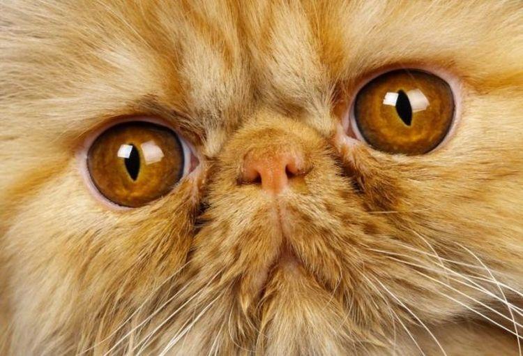 Коричневая слизь в глазах персидского кота