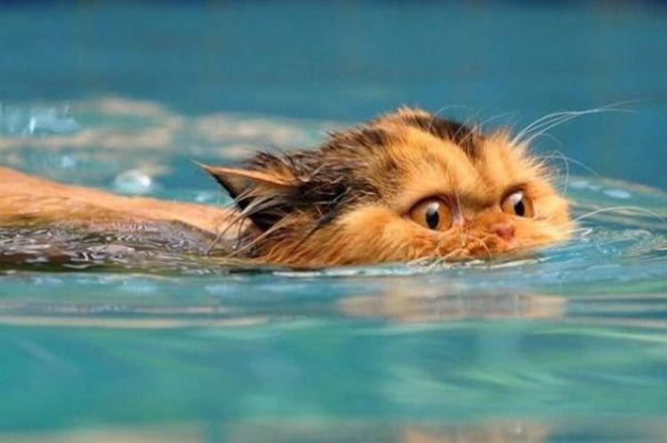 Умеют ли кошки плавать