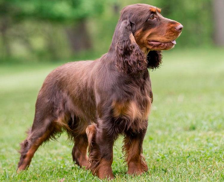 собака породы немецкий вахтельхунд