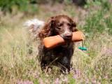 перепелиная собака порода