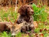 порода собак немецкий спаниель