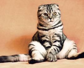 Вислоухий кот сидит