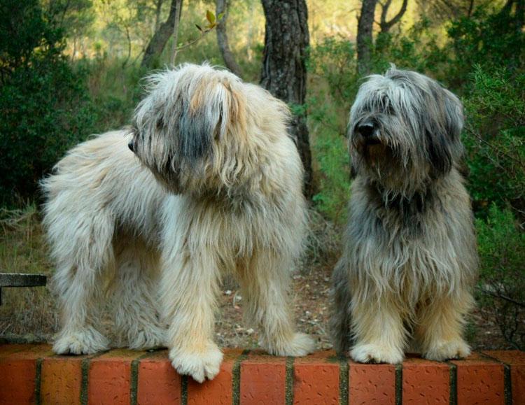 две каталонские овчарки