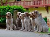 Собаки породы спиноне