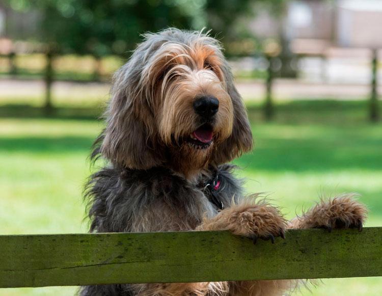 собака породы оттерхаунд