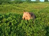 оттерхаунд в траве