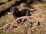брандлбрак с оленьими рогами