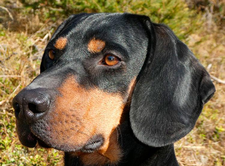 щенок австрийской охотничьей фото ему