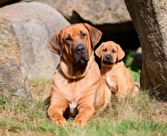 собака породы брохольмер со щенком