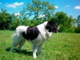 буковинская овчарка - юго-восточная европейская овчарка