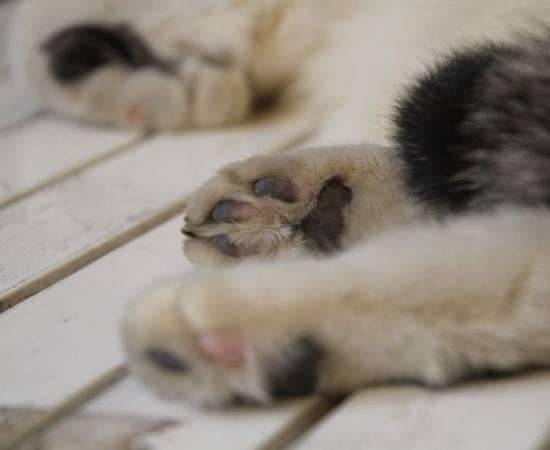 Кот хромает на лапу