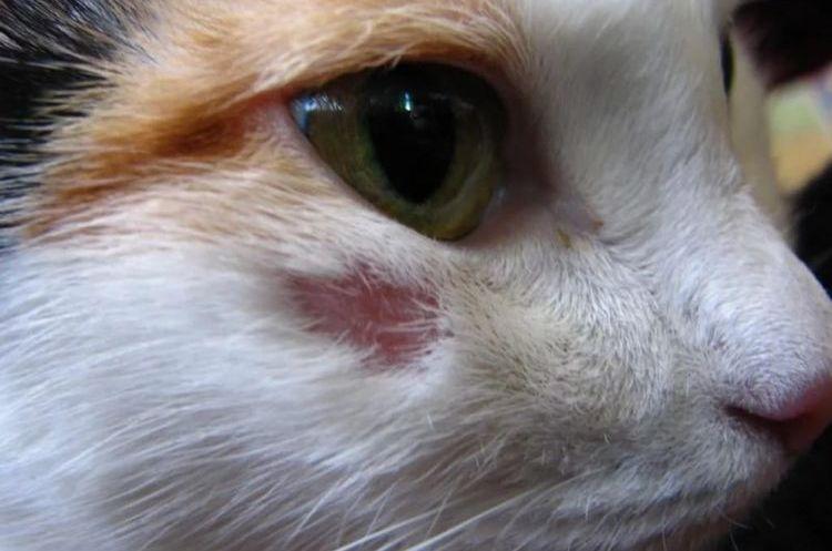Красные пятна на теле кошки