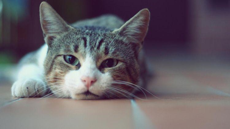 Плотный живот у кошки