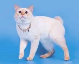 Породы кошек без хвостов