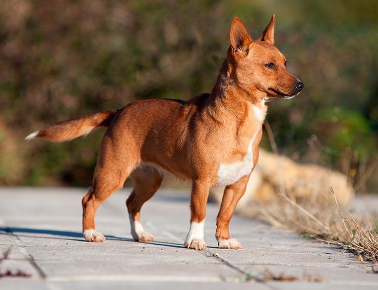 Португальский поденгу порода собак