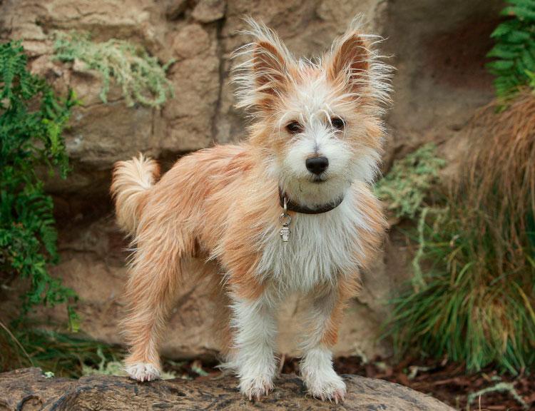собака породы Португальский поденгу