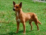 Португальская кроличья собака