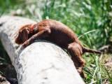 щенок пудель-пойнтера