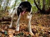 собака породы болгарская овчарка