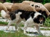 каракаченская овчарка пасет овец