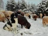 каракаченская овчарка